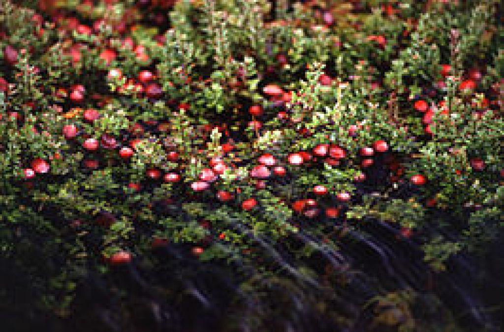 266px-Cranberry_bog