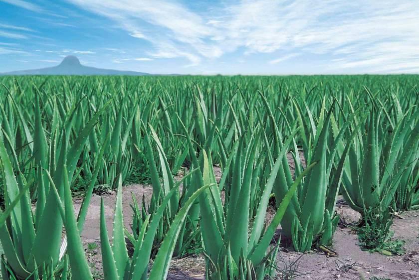 Aloe-Veld